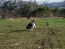 ゆめたま SENSE OF わんDER-牧羊犬