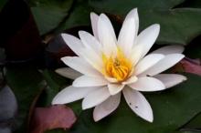 SENSE OF わんDER-water lily