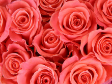 SENSE OF わんDER-pink roses